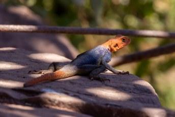 De Namib Rock Agama (Agama planiceps).