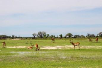 Ze verschillen met name met impalas omdat ze een soort waterafstodend laagje op de benen hebben zodat ze beter door dit soort drassig landschap kunnen lopen.