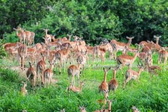 De grootste groep impala's die we tot dan toe hadden gezien.