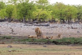 Hier een vergelijkbaar tafereeltje bij de leeuwen.