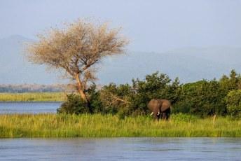 Toen we vanuit het Lower Zambezi Park (aan de overkant) een boottochtje maakten zagen we al dat olifanten rustig naar een eilandje zwemmen voor groener gras.
