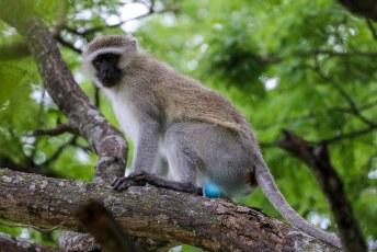 We stuitten onder andere op een paar apen met blauwe ballen.