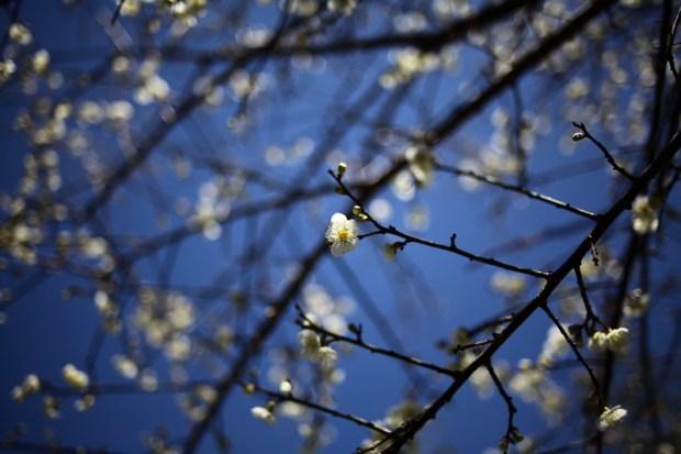 角板山公園的梅花