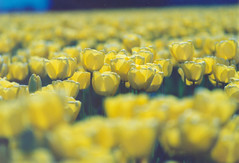 yellow tulips dof