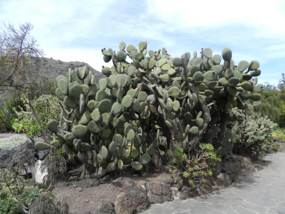 cactus Opuntia Jardin Canario Gran Canaria Islas Canarias 06
