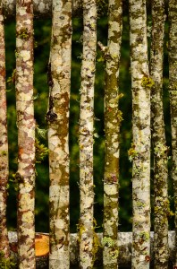 Birch Sticks