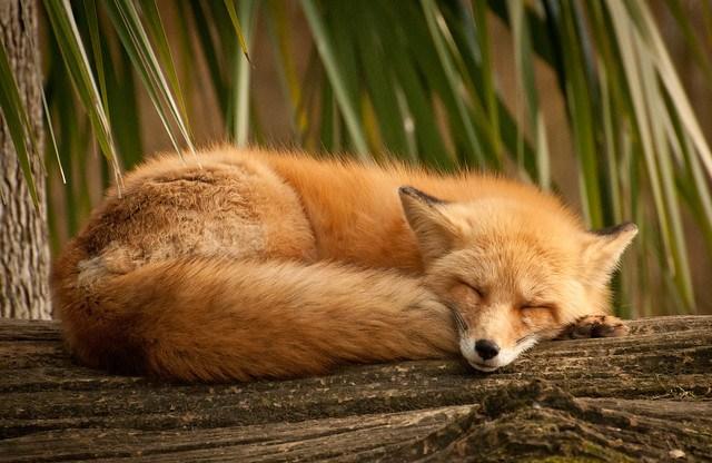Dreaming Fox