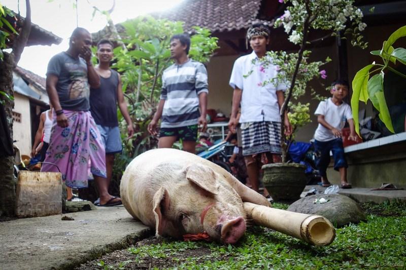 2013-03-13 Pig Slaughter - DSC00788-FullWM