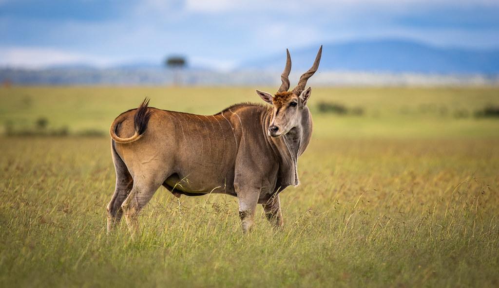 Beautiful Common Eland Eland Antelope Beautiful Animal A Flickr