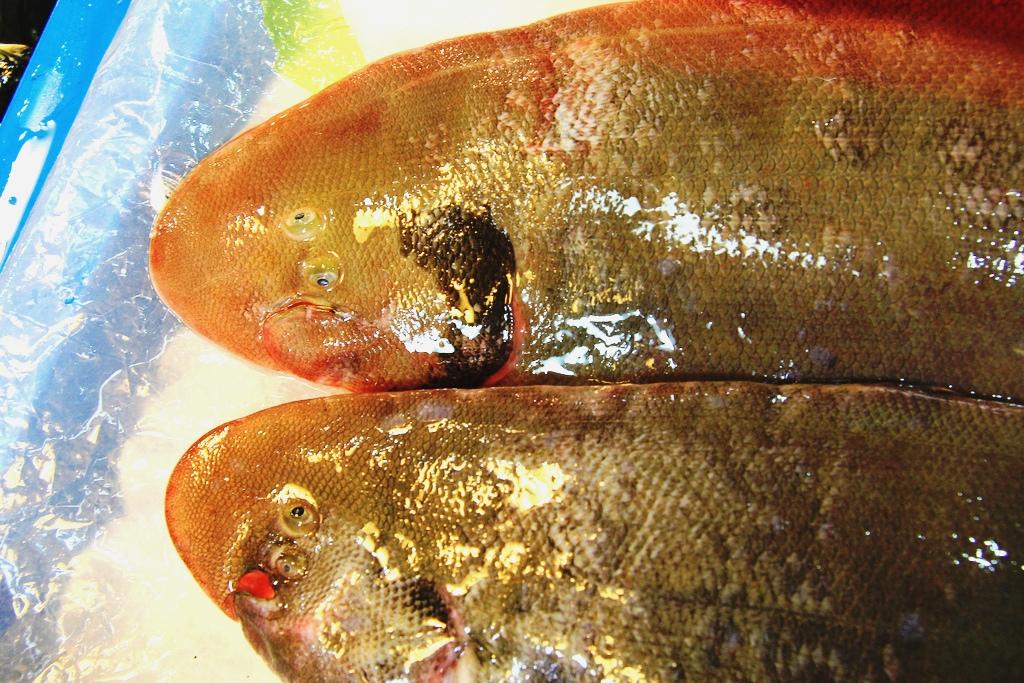 牛舌魚04 | 攝影:廖律清 | TEIA | Flickr