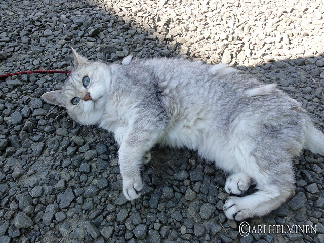 Chibi the cat 可愛い猫