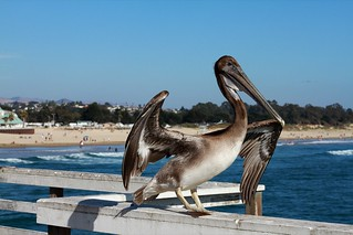 Pelican on Pismo Beach