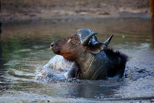 African buffalo, Inyati,  (Syncerus caffer)