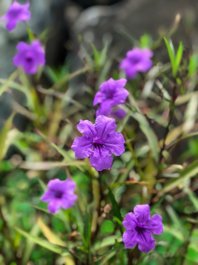 paper-thin purple flowers in the harbor