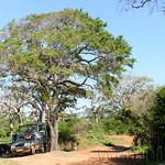 14 Viajefilos en Sri Lanka. Yala 25