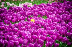 Skagit Valley Tulips-50