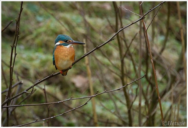 Kingfisher (7D023754)