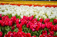 Skagit Valley Tulips-44