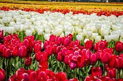 Skagit Valley Tulips-44