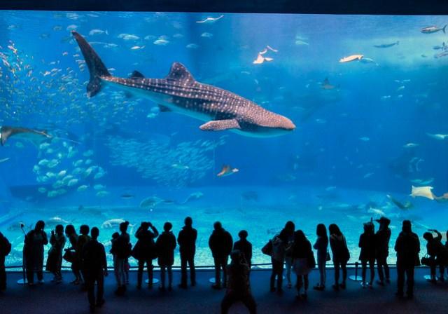Whale Shark - Okinawa Churaumi Aquarium