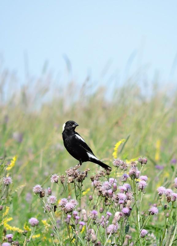 Bobolink Birds Hill Park.Manitoba