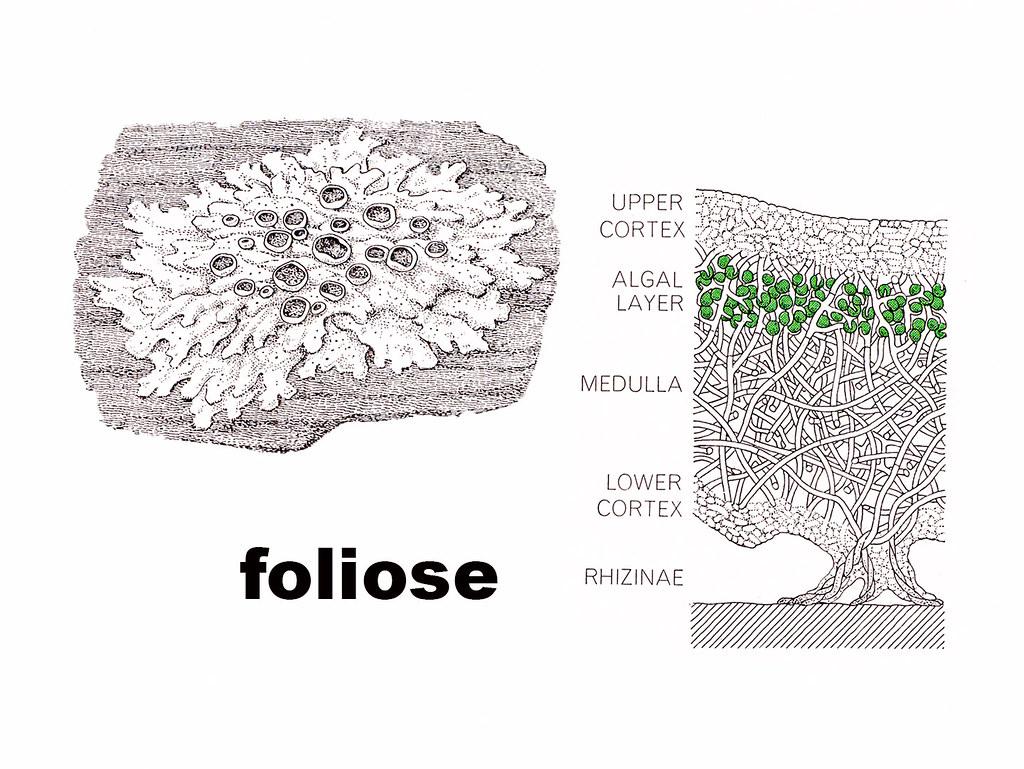 Foliose Diagram