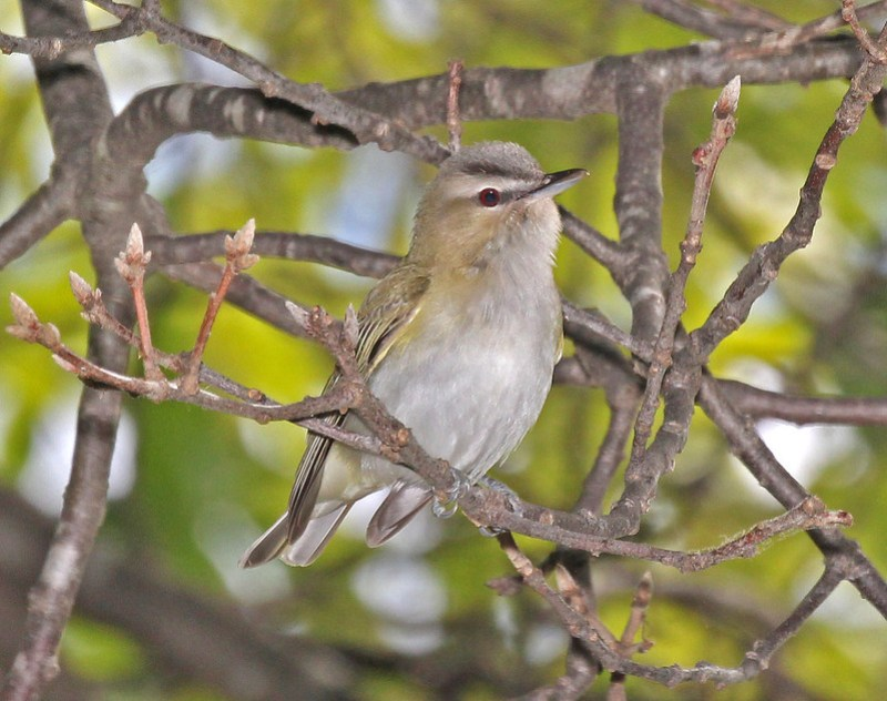 630 - RED-EYED VIREO ( (5-21-2015) barre, worcester co, ma -03