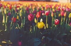 muticolored tulips 1