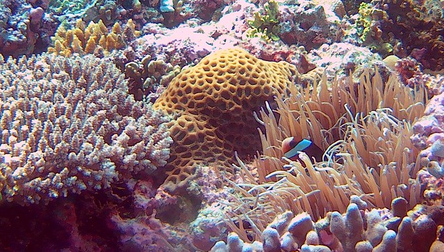Anemone fish by bryandkeith on flickr