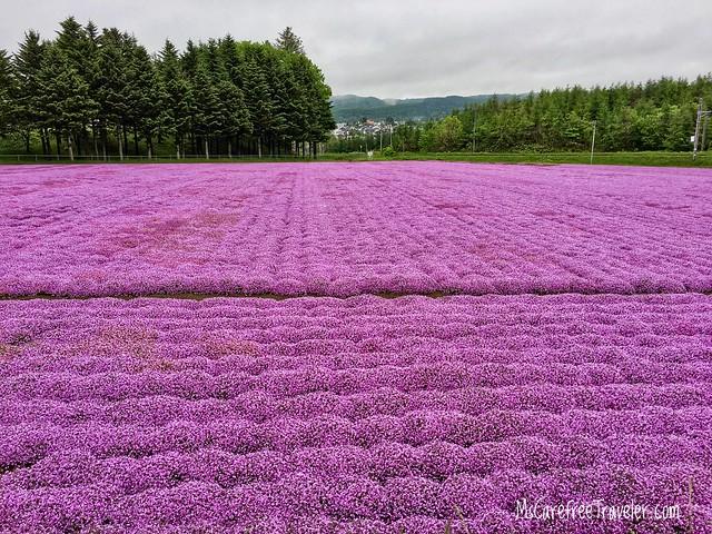 Shibazakura moss phlox fields Hokkaido Japan