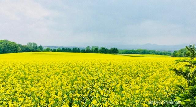 Takikawa Canola Flower Fields Hokkaido Japan