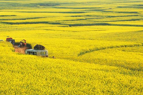 油菜花田里的舊巴士 Bus in rapeseed field | 其實舊巴士是電影道具 這里正在拍一部電影 云南 羅平… | Flickr