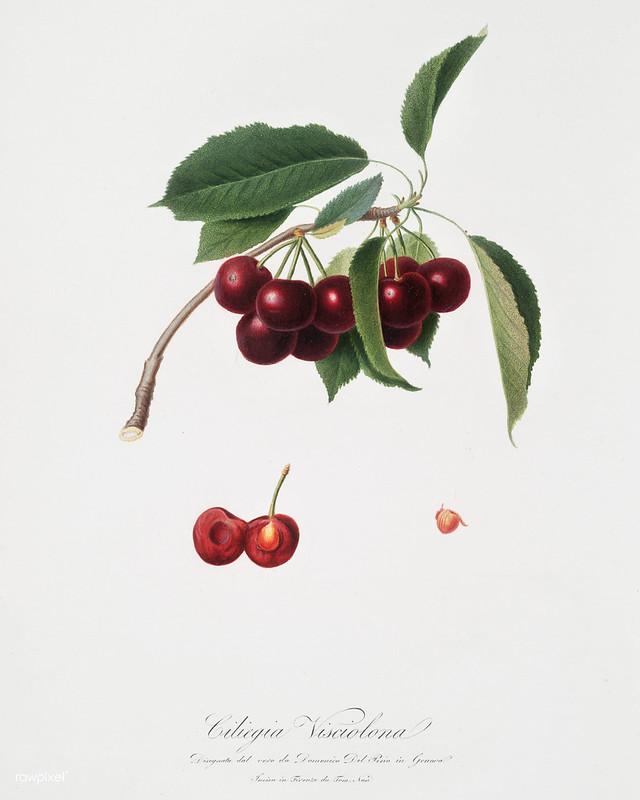 Cherry (Cerasus visciola) from Pomona Italiana (1817 - 1839) by Giorgio Gallesio (1772-1839).