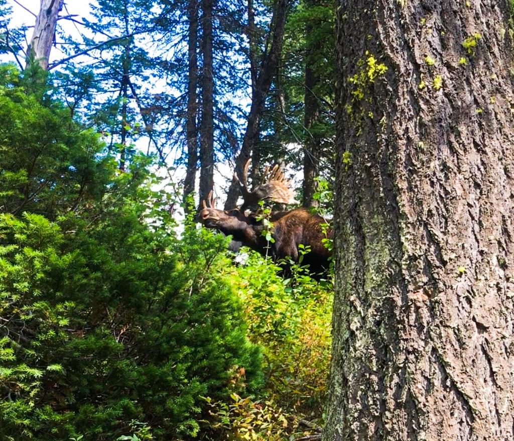 Moose at Grand Tetons