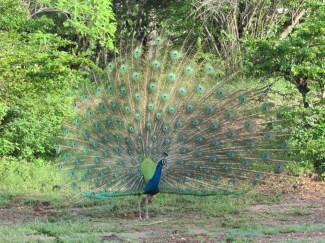 Dancing Peacock At Yala National Park