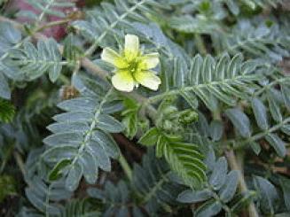 Goksura