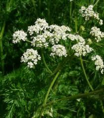 JIRAKA - Cuminum cyminum linn - Ayurvedic Herb