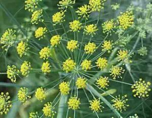 Mishreya FOENILCULUM VULGHARE MILL - Ayurvedic Herb