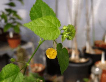 Nagabala - Sida Veronicaefolia - Ayurvedic Herb
