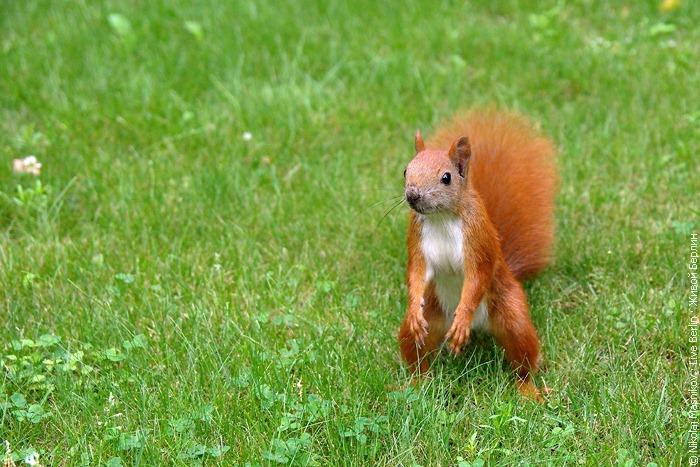 Brave Squirrel In The Charlottenburg Park