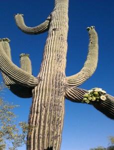 Saguaro Cactus Scottsdale