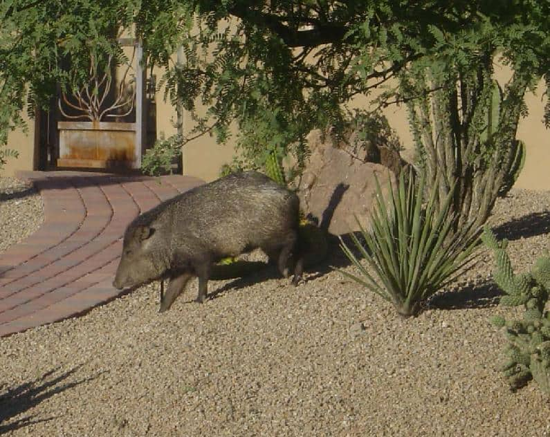 Desert Animals Of Scottsdale Az The Javelina Scottsdale