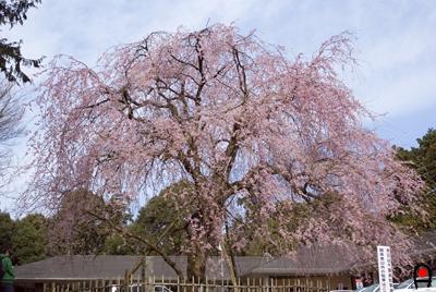 公津公民館の枝垂桜