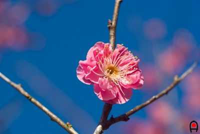 酒々井総合公園の梅