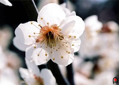 観音山梅の里(村上城跡)の梅