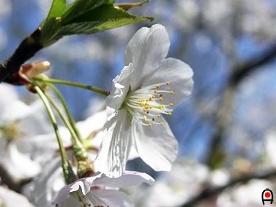 清原・公園の桜