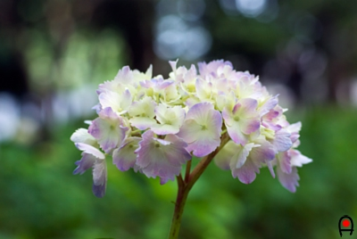 宗吾霊堂の紫陽花