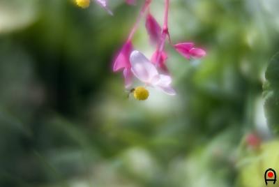 庭の秋海棠