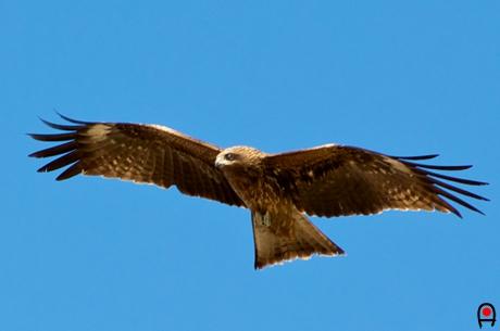 青空を飛ぶトビの写真
