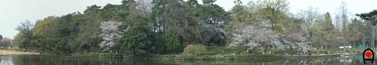 桜の時期の大宮公園内の池付近の写真